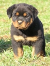 Blog 2: My journey from the Alaskan Malamuts to the Rottweilers (RTW)