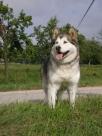 Blog 1 oder Meine ersten Hunde waren Alaskan Malamuten