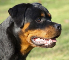 Ginger Taffy - Rottweiler Kennel